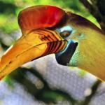 knobbed-hornbill-sulawesi-wrinkled-hornbill