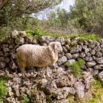 lamb-sheep-in-mediterranean-landscape-at-menorca