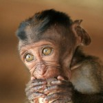 long-tailed-macaque-baby