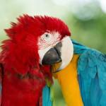 macaws-parrots (1)