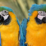 maccaw-parrot-pair