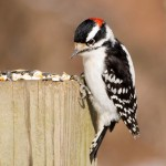 male-downy-woodpecker