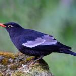 male-grey-winged-blackbird (1)