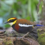 male-malayan-banded-pitta (1)