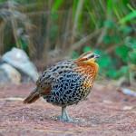 male-mountain-bamboo-partridge