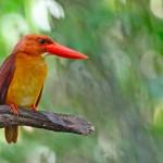 male-ruddy-kingfisher (1)