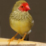 male-star-finch-from-australia