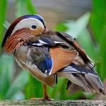 mandarin-duck (2)