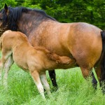 mare-nursing