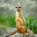 meerkat (1)