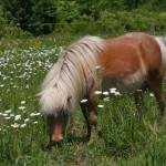 miniature-horse