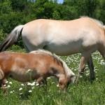 miniature-horse-norwegian-fjord-horse