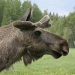 moose (4)