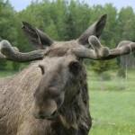 moose (5)