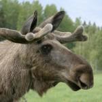 moose (6)