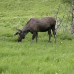 moose (7)