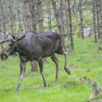 moose-in-a-wildlife-park (1)