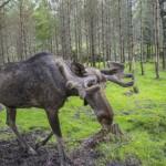 moose-in-a-wildlife-park