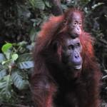 mother-orangutan-and-baby
