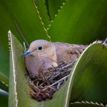 nesting-mourning-dove-nested-in-cactus