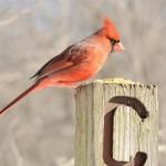 northern-cardinal (2)