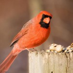 nothern-cardinal