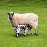 pair-of-black-welsh-lambs-in-meadow
