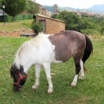 pony-horse-grazing-meadow-in-ainsa-pyrenees