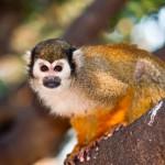 portrait-of-a-cute-squirrel-monkey