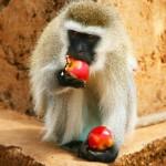 portrait-of-wild-hungry-monkey