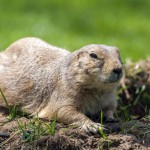 prairie-dog (3)
