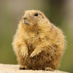 prairie-dog-covered-with-sand