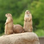 prairie-dogs-on-rock (1)