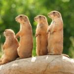 prairie-dogs-on-rock (2)