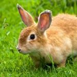 rabbit-on-grass