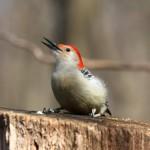 red-bellied-woodpecker