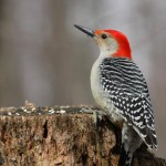 red-bellied-woodpecker (2)