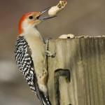 red-bellied-woodpecker-melanerpes-carolinus