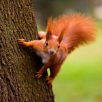 red-eurasian-squirrel