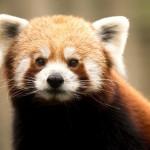 red-panda-ailurus-fulgens