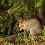 red-squirrel-in-natural-outdoor-environment
