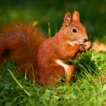 red-squirrel-on-the-grass