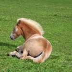 resting-filly