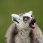 ring-tailed-lemur (4)