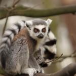 ring-tailed-lemur (6)