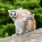 ring-tailed-lemur-in-captivity