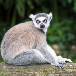 ring-tailed-lemur-in-forest