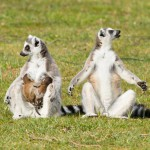 ring-tailed-lemur-lemur-catta (1)
