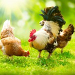 rooster-and-chickens-free-range-cock-and-hens