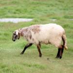 sheep-in-the-farm
